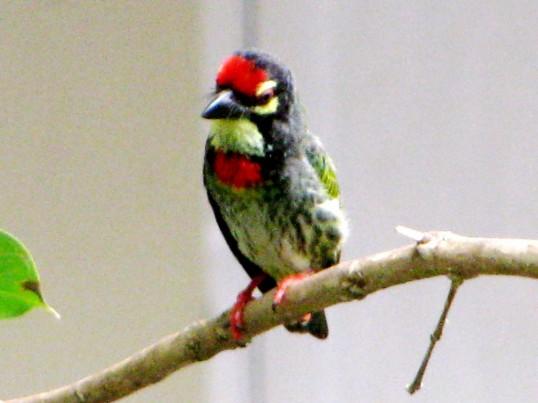 little bird 5