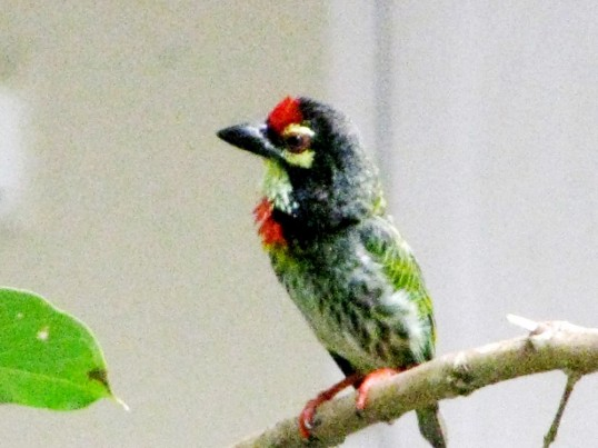 little bird 7